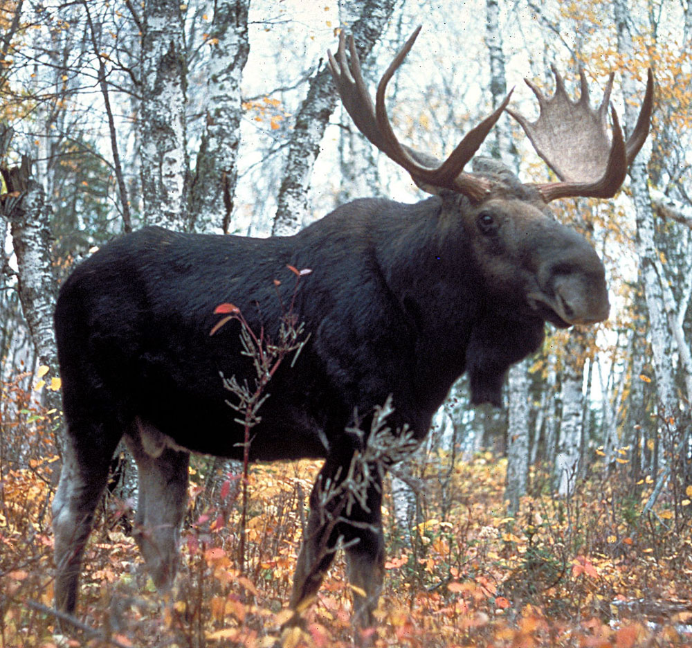 Moose is cheaper than healthcare