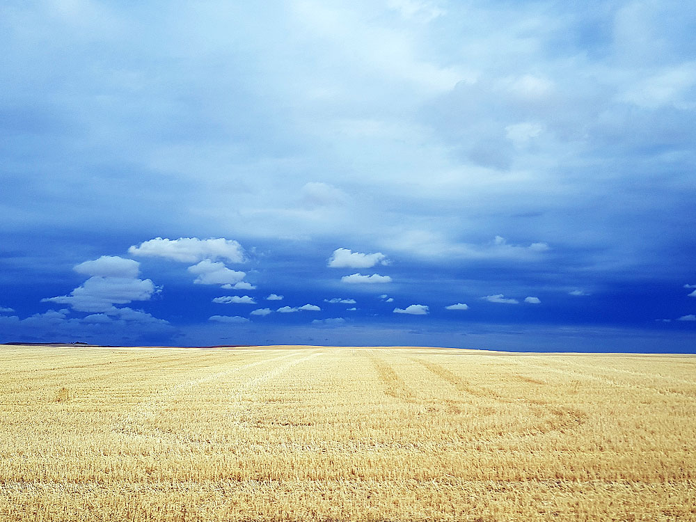 Saskatchewan wheat field near Alberta boarder