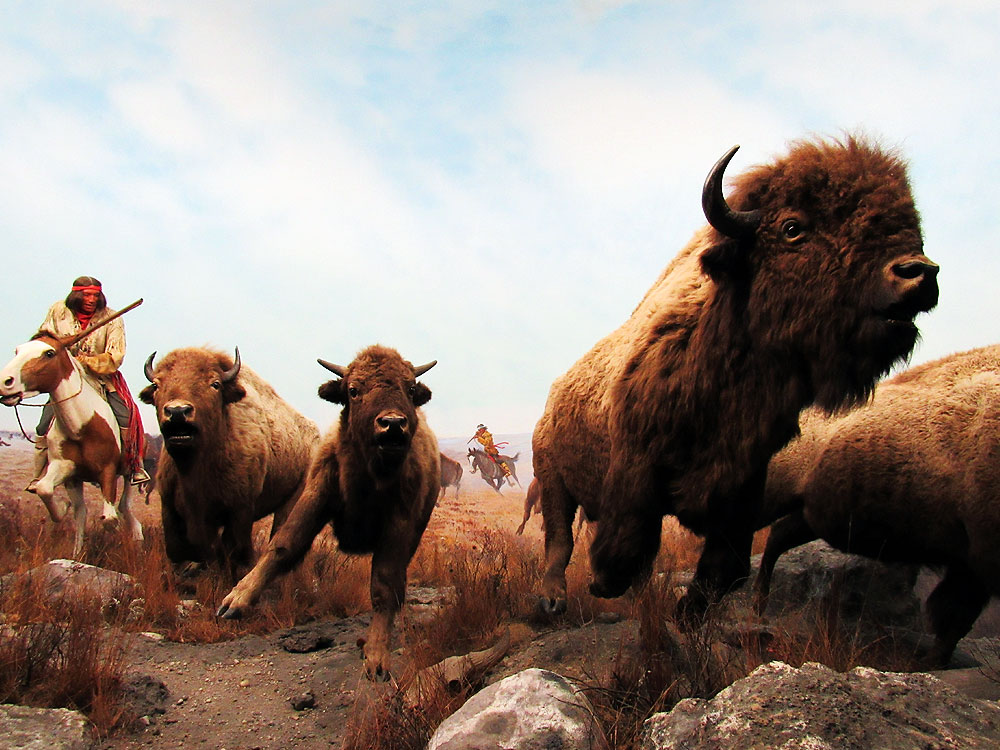 Buffalo at Manitoba Museum