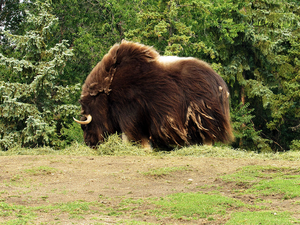 Journey to Churchill muskox