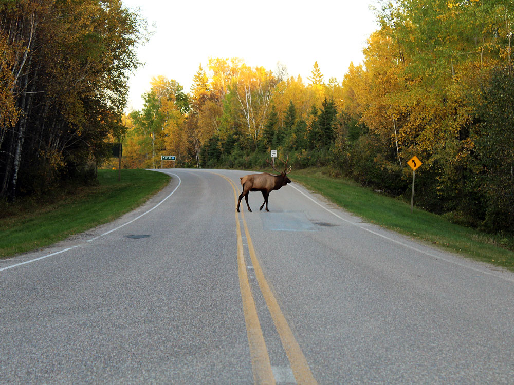 Elk on road