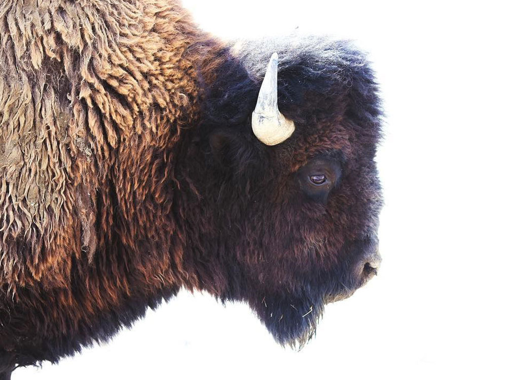 Bison in Saskatchewan