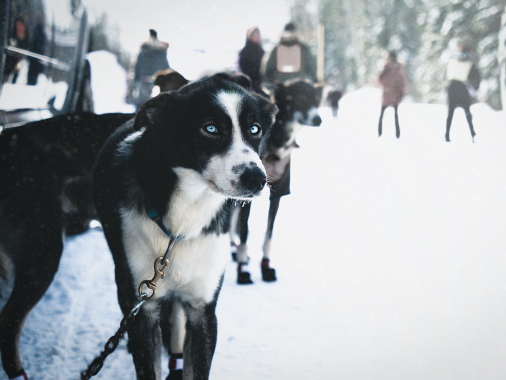 Dog sledding at the The Canadian Challenge